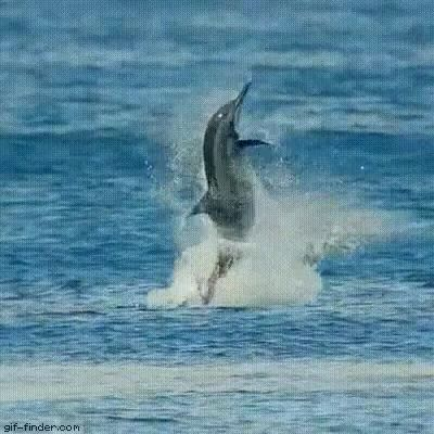 Dolphin Dance GIFs - Funny Videos - funvizeo.com - funny animal gifs,dolphin,sea,water,dance