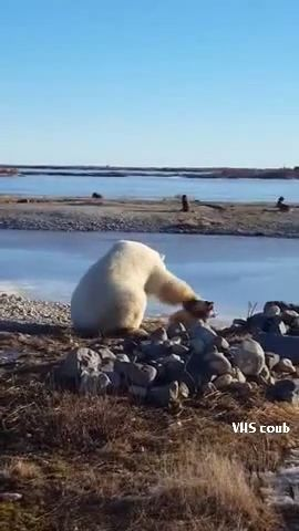 Polar bear makes friends with wolves