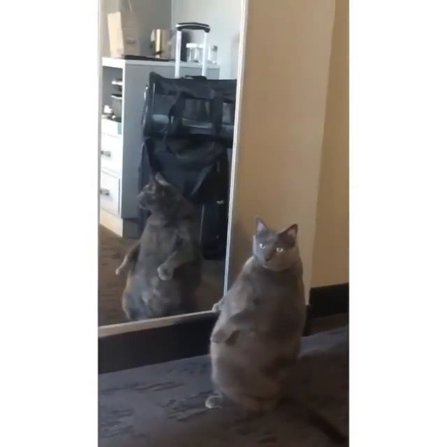 The fat cat looks at the mirror