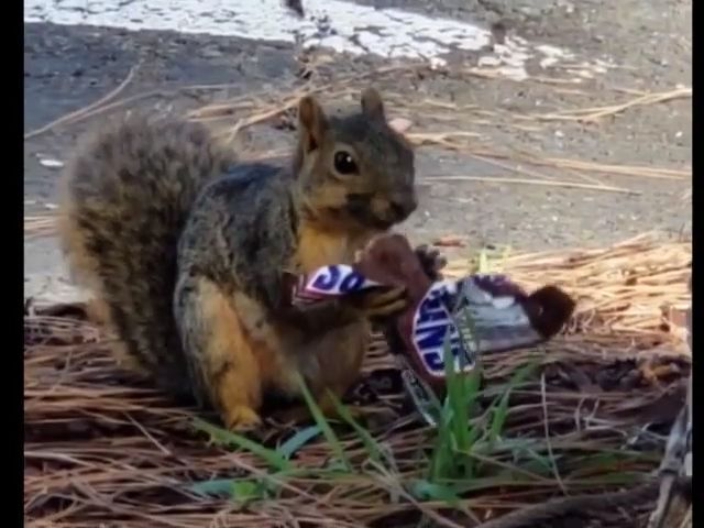 How much energy does chocolate have? LOL - Funny Videos - funvizeo.com - squirrel,funny animal,chocolate,hamster wheel