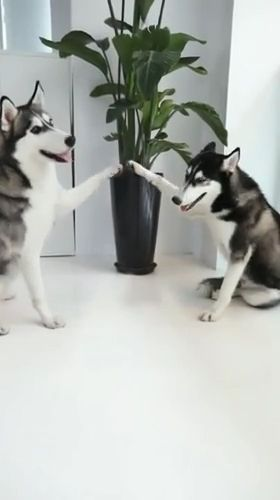 Funny Dog Videos - I can make your hands clap - Funny Videos - funvizeo.com - funny husky,funny dog,funny pet
