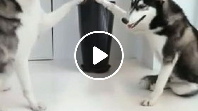 Funny Dog Videos - I Can Make Your Hands Clap - Video & GIFs | funny husky, funny dog, funny pet