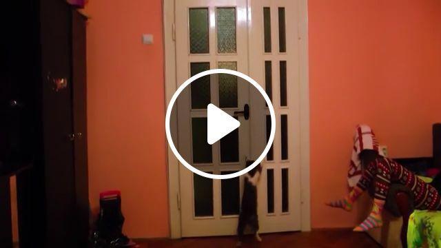 Clever Cat Opening Door - Funny Videos - funvizeo.com - smart cat,clever cat,funny cat,funny pet,door,door handles