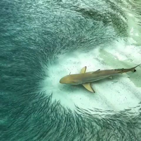 Shark GIFs - Beautiful nature - Funny Videos - funvizeo.com - beautiful nature,shark,fish,ocean,sea