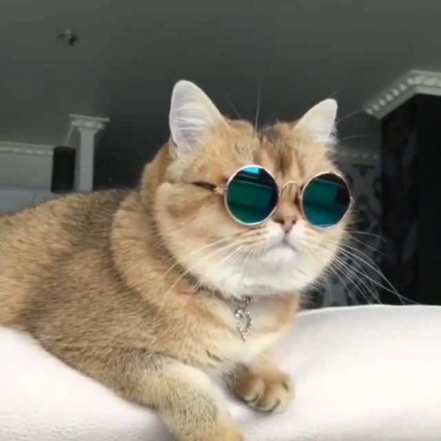 Summer Sunglasses - Funny Videos - funvizeo.com - cute cat,cute pet,sunglasses,fashion