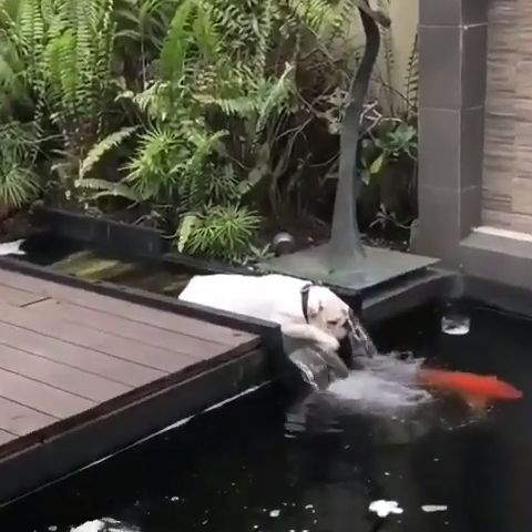 Great Way To Cool Off - Funny Videos - funvizeo.com - cute dog videos,koi fish,cute pet