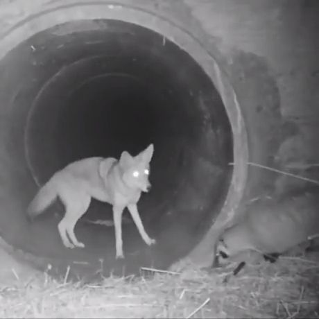 Coyote And Badger Traveling Together Through A Culvert - Funny Videos - funvizeo.com - coyote,badger,funny animal video