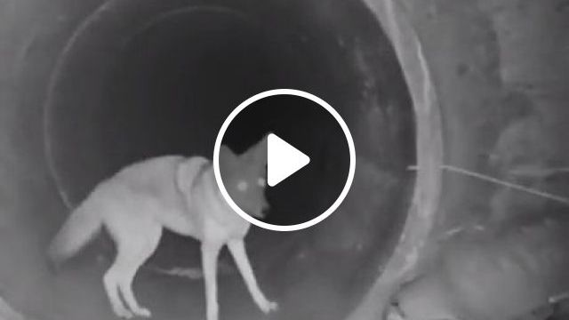 Coyote And Badger Traveling Together Through A Culvert - Video & GIFs | coyote, badger, funny animal video