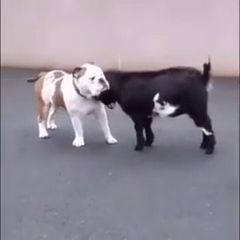 Dog And Goat Being Bros - Video & GIFs | bulldog,funny animal videos,goat