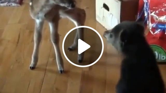 Baby Bear Meets Baby Deer For First Time - Funny Videos - funvizeo.com - cute animal videos,adorable,bear,deer