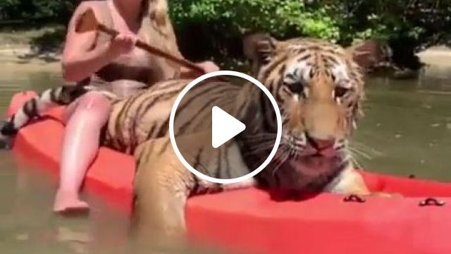 Kayaking With Big Cat - Funny Videos - funvizeo.com - tiger,wild animals,kayak,river