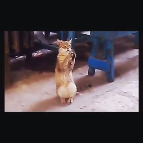 Clapping Cats Funny - Funny Videos - funvizeo.com - funny cat videos,funny pet,clap