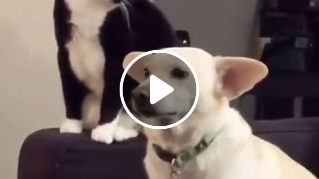 Try Not To Laugh Cat - Funny Videos - funvizeo.com - funny cat videos,funny dog videos,pet