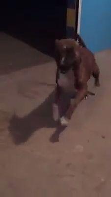 Dancing Doggo is Happy Doggo - Funny Videos - funvizeo.com - american pit bull terrier,funny dog videos,pet