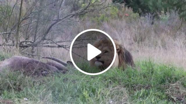 Lion nature reserve, wild animal videos, lion, nature