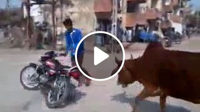 He has a lot of fans, lol, motorcycle, drift, cow, funny