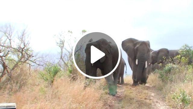 A moment of suspense, animal sanctuary, elephants, dangerous, animal, wild, nature, jeep wrangler, africa tour