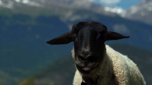 He's passionate about singing - Video & GIFs | herdsman, sheep, sing, animal, talent, music