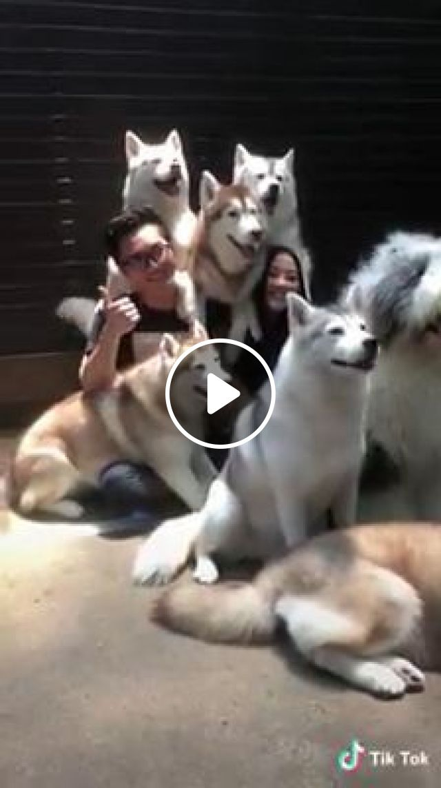 Take cute photos with lovely dogs, alaskan malamute, siberian husky, bearded collie, cute dog, cute pet, take a photo