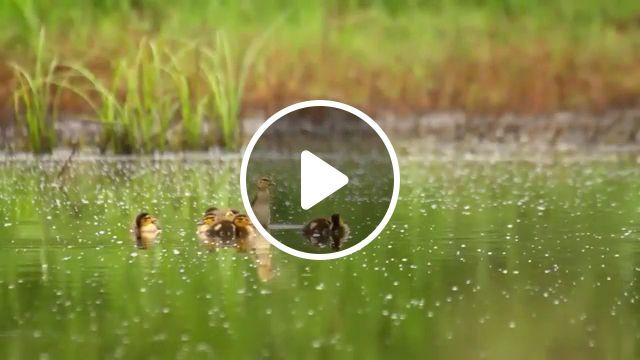 Duck Rescue - Funny Videos - funvizeo.com - Duck, Rescue, kindness, cute animal, police
