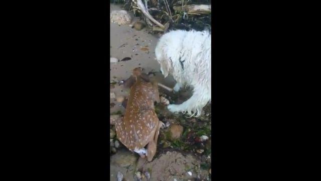 Hero dog saves drowning baby deer