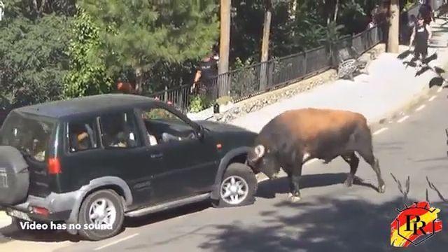 Car vs Bull - Funny Videos - funvizeo.com - bull, car, funny, fighting