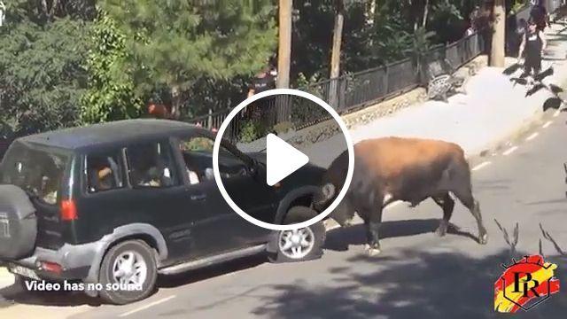 Car vs Bull, bull, car, funny, fighting