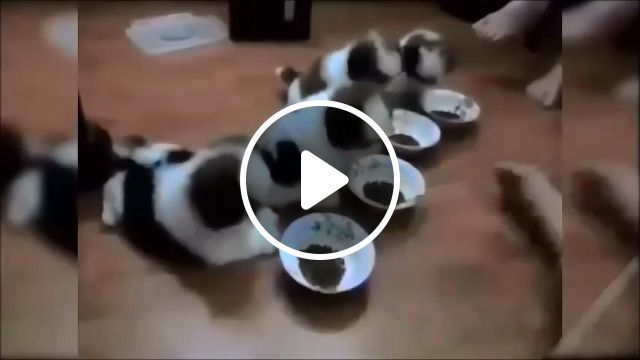 Obedient puppies - video - funvizeo.com - puppies, cute dog, cute pet, Obedient, dog food, Dog Bowls