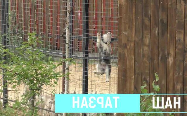Siberian Husky Escape memes