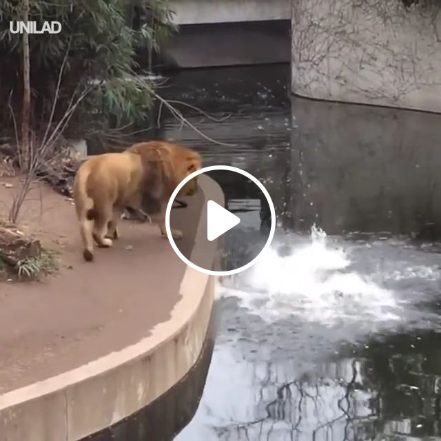The harm of looking lioness, haha, lioness, wet, lion, animal