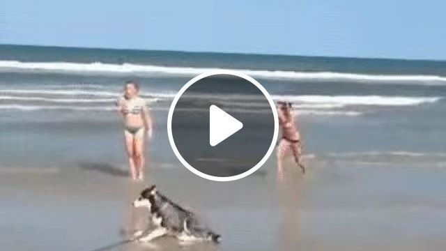 Why is it so difficult?, boss, dog, beach, pet, husky