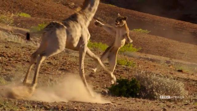 Lion vs Giraffe: Who Will Win?
