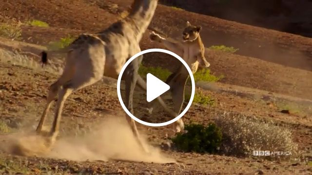 Lion vs Giraffe: Who Will Win?, lion, giraffe, wild animal videos, fighting
