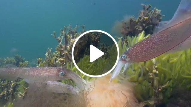 Squids in the beautiful ocean, squid, beautiful nature, wild animal, beautiful ocean, coral, seagrass, seaweed