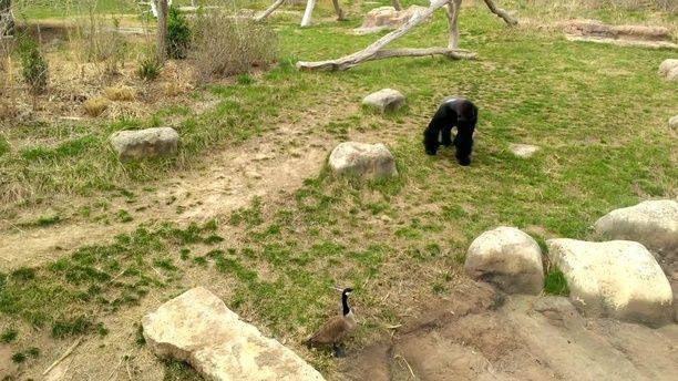 Gorilla vs. Goose