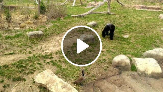 Gorilla vs. Goose, gorilla, goose, animal, fight
