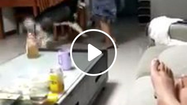 Funny Husky Dancing, siberian husky, dog dance, funny pet, happy dog, run around, living room table