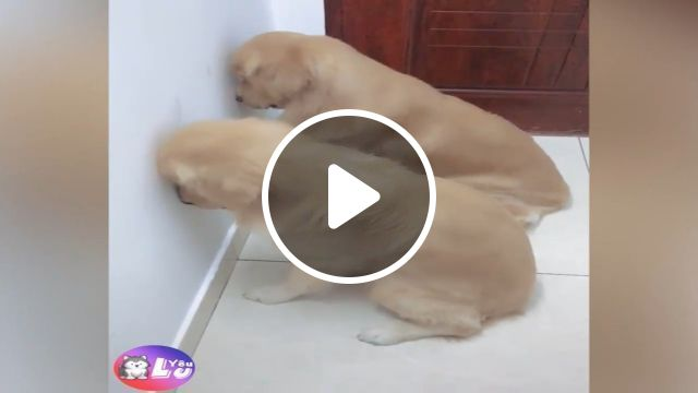 Is there a right way to punish mischievous dogs?, dogs, funny pet, mischievous, funny dog, golden retriever