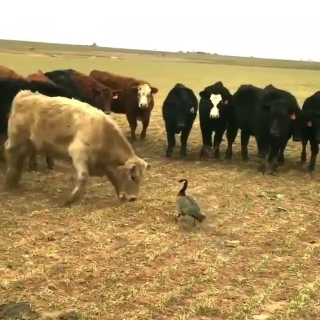 Brave Duck, lol - Funny Videos - funvizeo.com - funny animal, funny duck, cow, brave