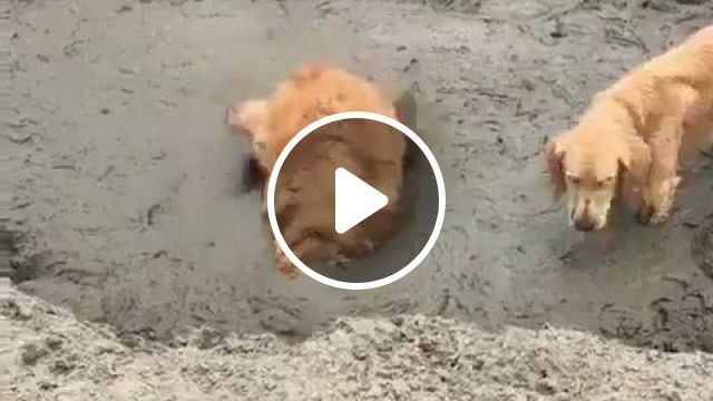Mud bathing is the joy of dogs