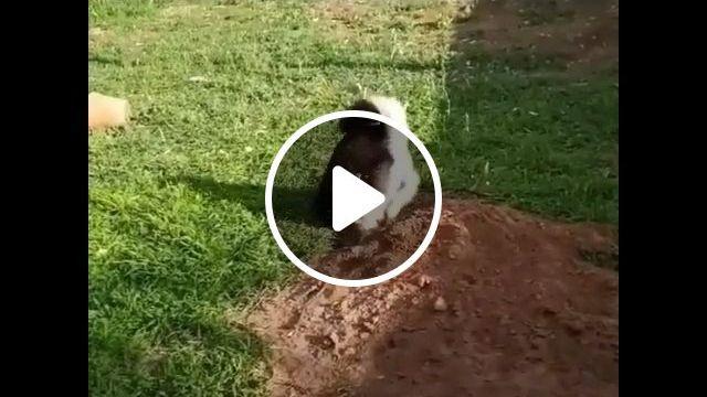 Husky or mole rat