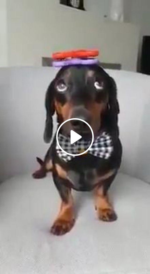 Rocky plays Fidget Spinner, fidget spinner, toy hand, funny dog, funny pet, dachshund