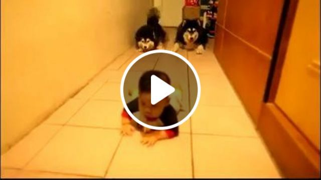 Two lovely dogs imitate a crawling baby
