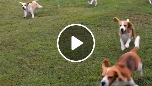 How to walk a group of dogs?