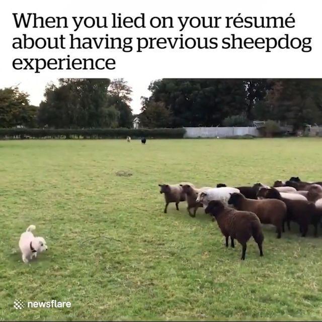 Best sheepdog