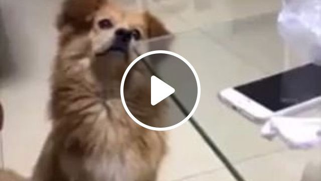 Come on, I want you to eat on the table - Funny Videos - funvizeo.com - Dog Training, dog, dog food, eat, pet, glass table