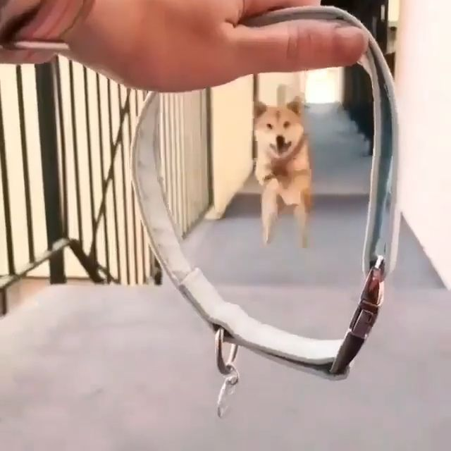 Let's go out and play - Funny Videos - funvizeo.com - dog,smart,cute,pet