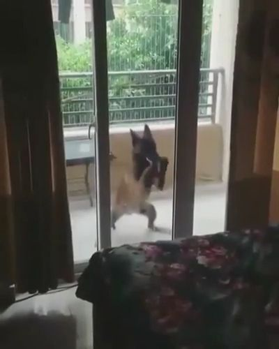 Best Drummer Ever - Funny Videos - funvizeo.com - german shepherd,drummer,funny dog,funny pet,glass door,dancing dog