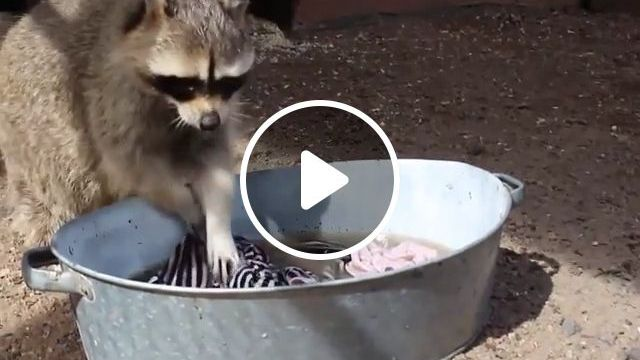 Passionate about laundry - Funny Videos - funvizeo.com - animal,raccoon,laondry,wash