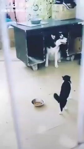 Hey cat, I'm not afraid of you - Funny Videos - funvizeo.com - siberian husky,fighting,wood table,under tables,funny dog,funny cat,funny pet